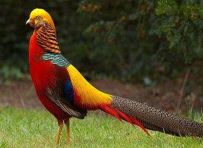 Яскравий представник великої родини фазанів породи золотий