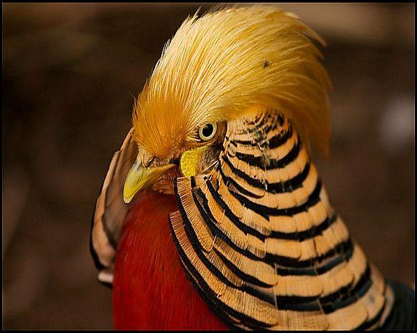 Голова Золотого фазана