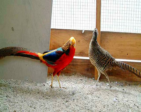 Самець Золотого фазана доглядає за самкою
