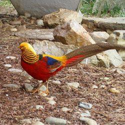 Золотий фазан на каменях