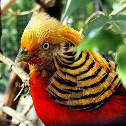 Самець Золотого фазана