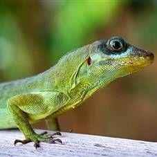 Ящірки в будинку: чим годувати, утримання, догляд