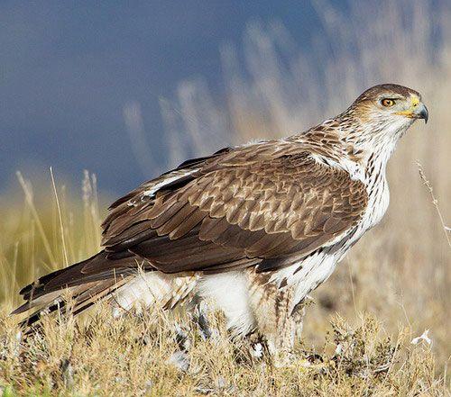 Яструбине орел - зовнішній вигляд