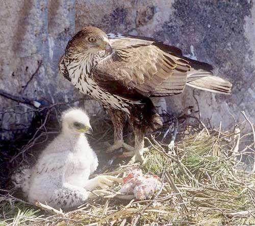 Самка з дитинчам в гнізді
