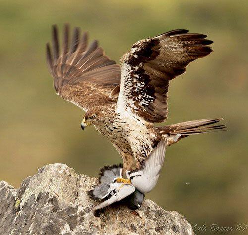 Яструбине орел зловив птицю