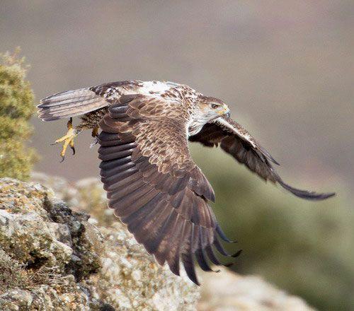 Яструбине орел летить