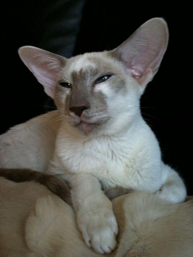 Кішка породи яванез