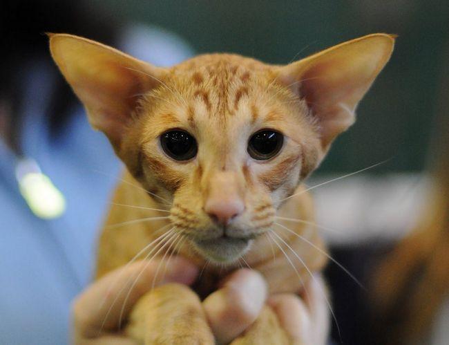 Яванська кішка своїм виглядом нагадує Орієнтал