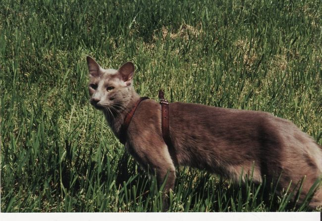 Кішки породи яванез фізично відмінно складені