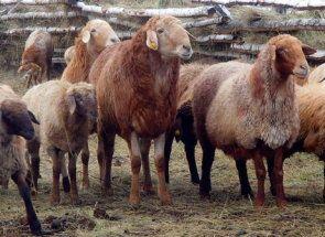 Едільбаєвськая вівці - спадщина кочових отар казахстана