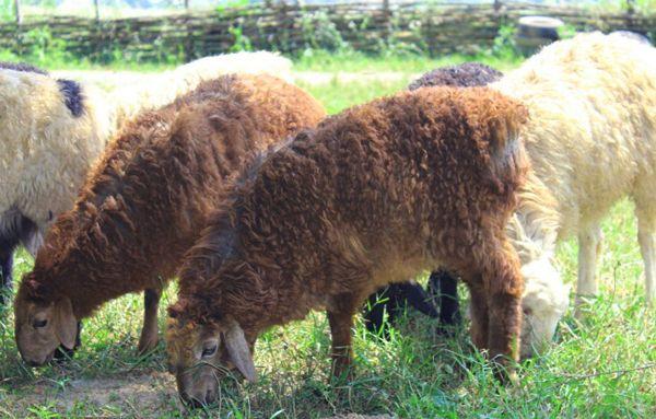 Едільбаєвськая вівці пасуться на лузі