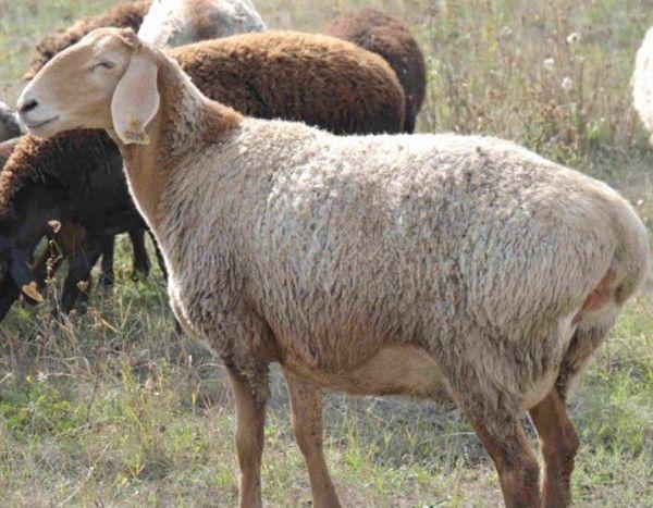 Едільбаєвськая вівця світлого забарвлення
