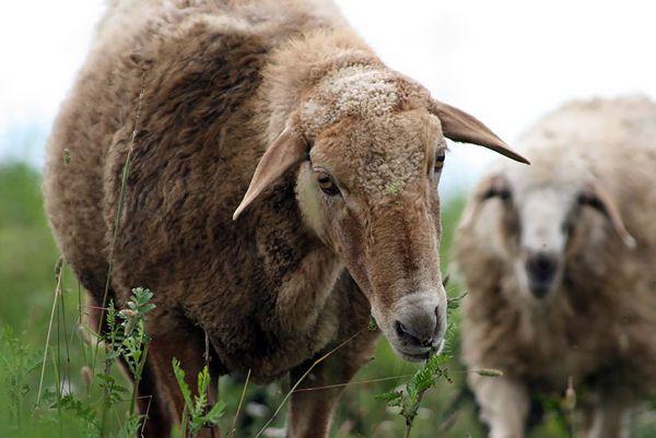 Голова Едільбаєвськая овечки крупним планом