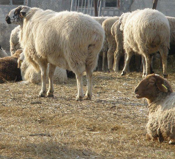 Стадо едільбаевскіх овець на вигулі