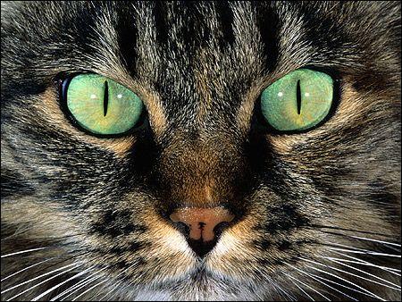 Морда кішки крупним планом - дикий забарвлення (агуті), зелені очі. Фото, фотографія картинка тварини
