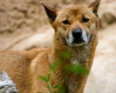 Новогвинейська співаюча собака на природі