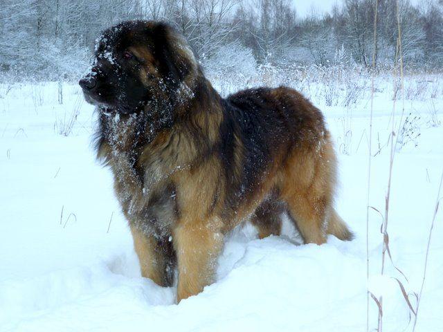 Ліонбергер на снігу