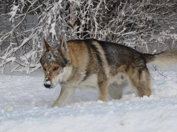 Чехословацький влчак на прогулянці
