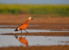 Екзотичні помаранчеві качки огарь - ще одна загадка природи