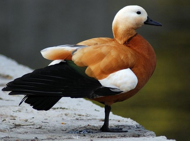 Красивий птах - огарь