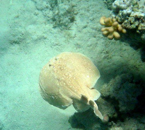 Електричний скат у морського дна