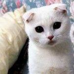 Елвестін для кішок