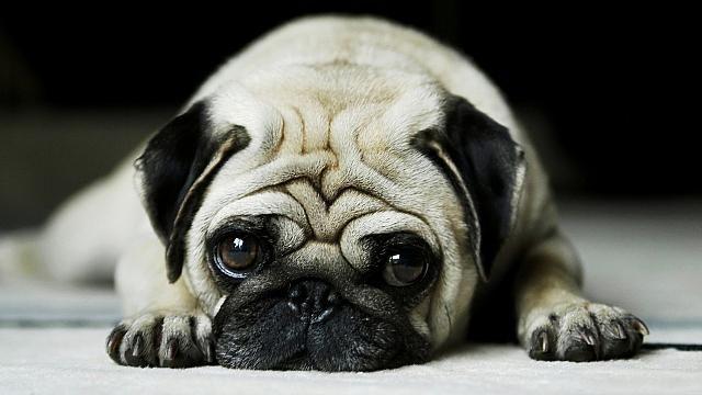 Ентерит у собак: блискавичний вбивця