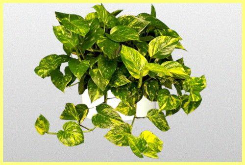 Епіпремнум вирощування і догляд в домашніх умовах: фото