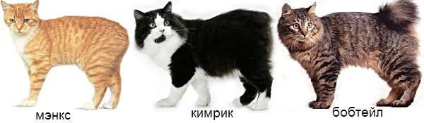 безхвості кішки