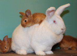 Цей зачаровує своєю шубкою - новозеландський кролик