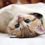 Евінтон для кішок