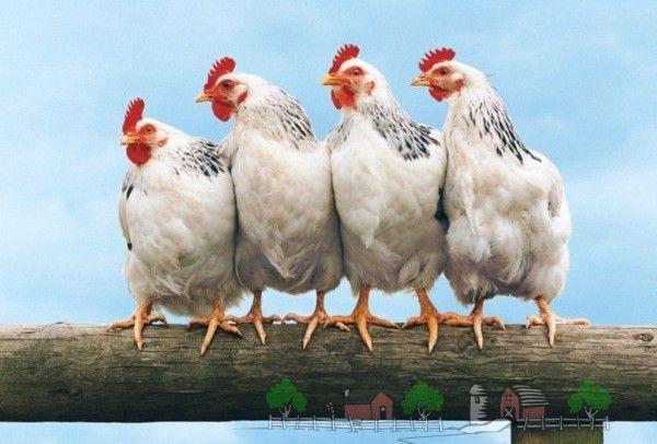 Чому одну несучку клюють і ображають інші кури?
