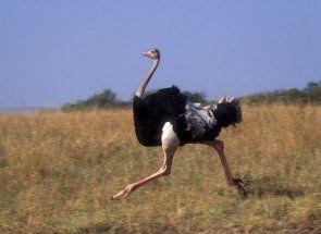 Як швидко може бігти страус?