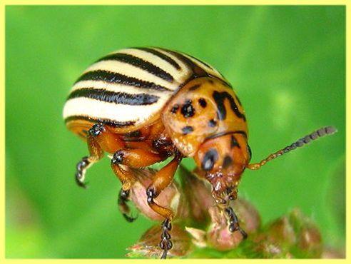 Як позбутися від колорадських жуків без хімії