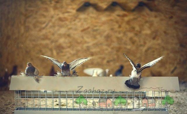 Фото голубів біля годівниці