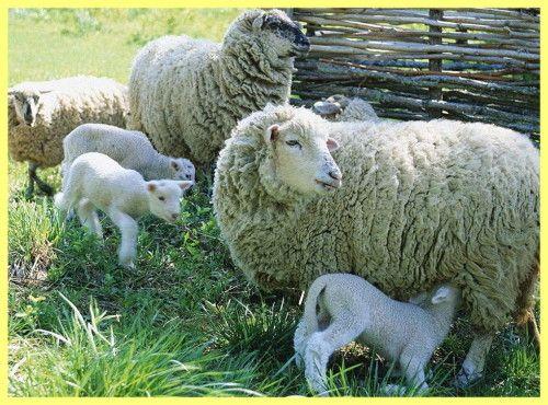 Як ягнятся вівці: опис і вирощування
