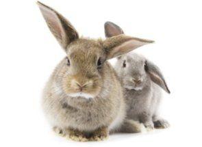 Як каструвати кролика самому?