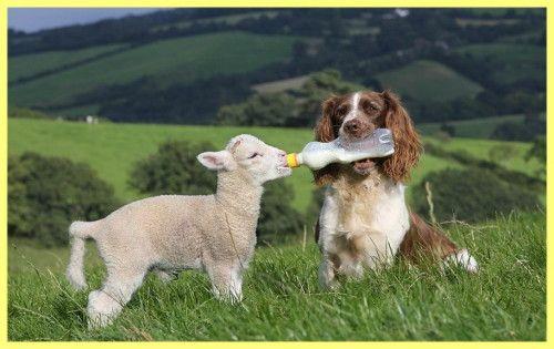 Як годувати новонароджених козенят