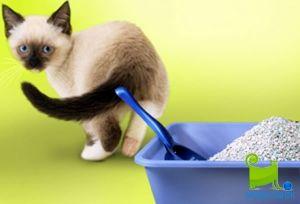 Як кішку привчити до туалету