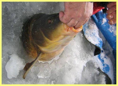 Як ловити коропа взимку в січні