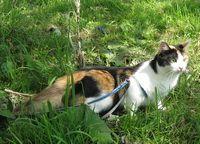 Як навчити кота ходити на повідку?