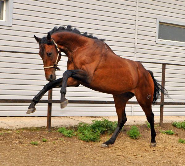 Кінь скаче в своєму загоні