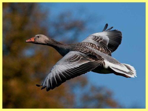 Як полювати на гусака навесні