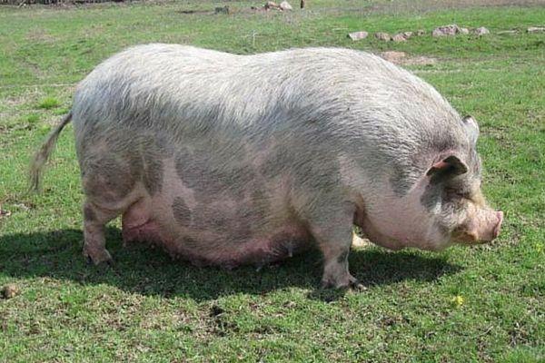 Як визначити покрилася свиня чи ні в домашніх умовах