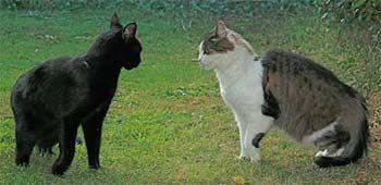 Як зупинити прояв агресивності між кішками?