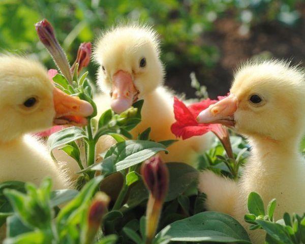 Каченята обкушують квітка