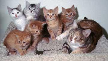Як віднімати котенят від кішки.