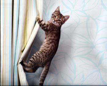 Як відучити кішку лазити по шторах.