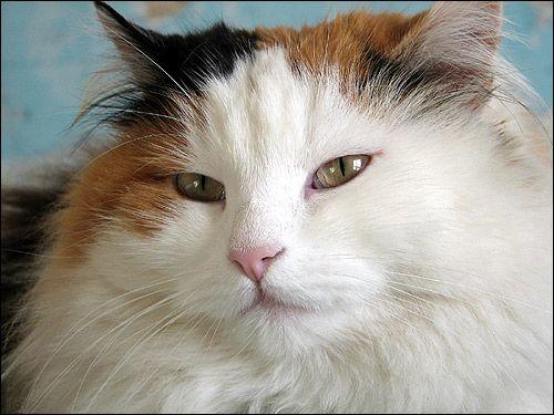 Довгошерста кішка, Фото, фотографія картинка
