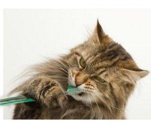Як почистити кішці зуби